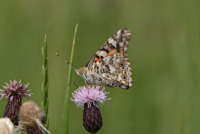 Thistle butterfly on a thistle flower