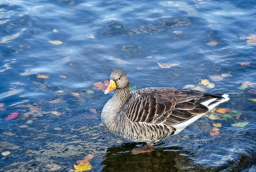 Wise duck | by Tigra K