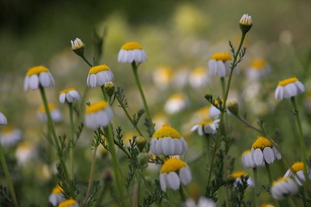 Daisies' field