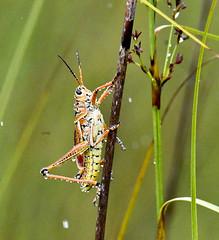 Southeastern Lubber Grasshopper (Romalea microptera)
