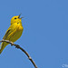 Singin' My Day Away (Yellow Warbler)