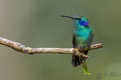 Lesser Violetear