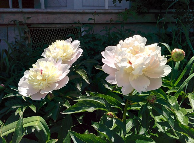 Three peonies #toronto #dovercourtvillage #dupontstreet #flowers #peony #peonies #pink #cream
