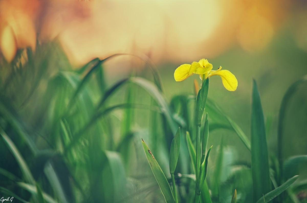 Iris des marais 48094890267_c616b35197_o