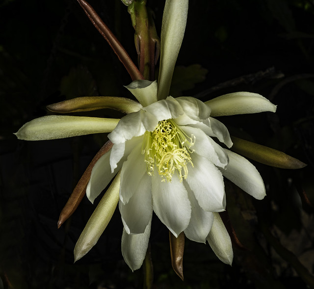 Epiphyllum Flower Hanging Out In A Tree