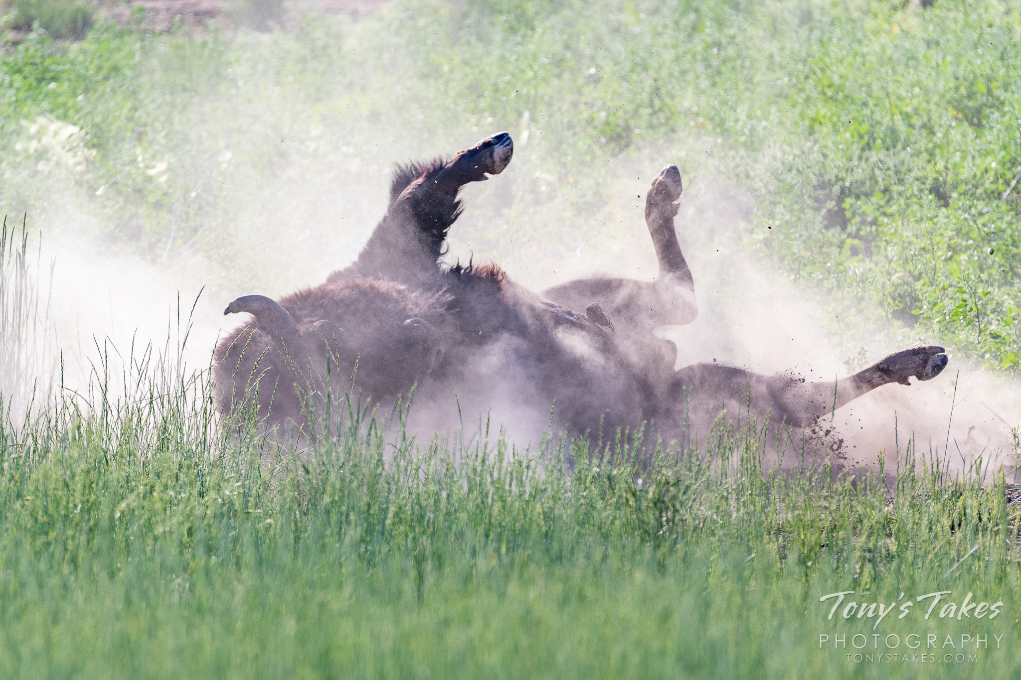 A bison bull rolls in the dirt to try to rid itself of its winter coat. (© Tony's Takes)