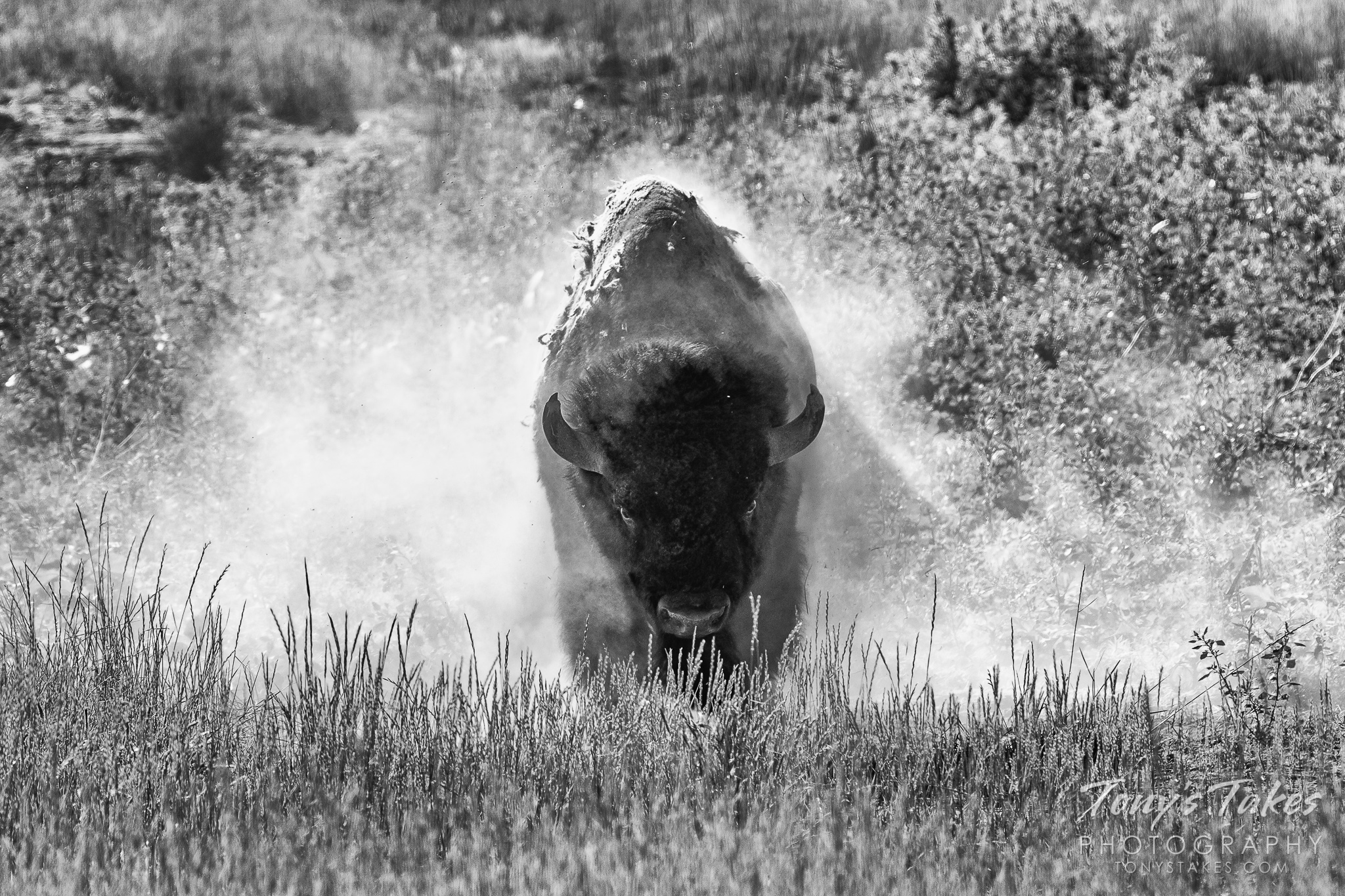 A bison bull shakes off dirt and creates a cloud of dust. (© Tony's Takes)