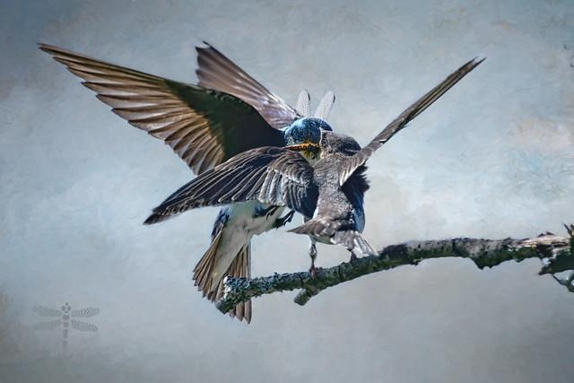 fledgling feeding time . . .