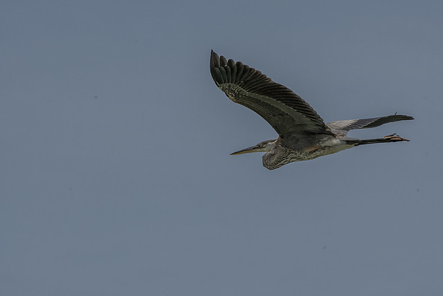 Believed to be a Juvenile Great Blure Heron
