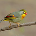 Red Billed Leiothrix