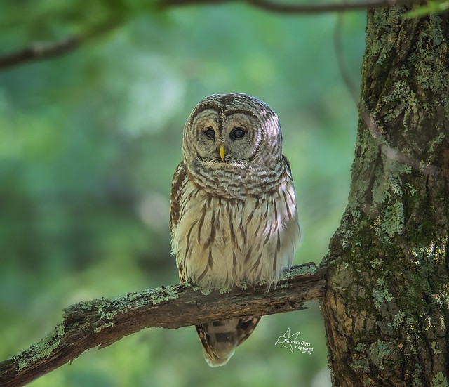 Barred Owl perched & hunting