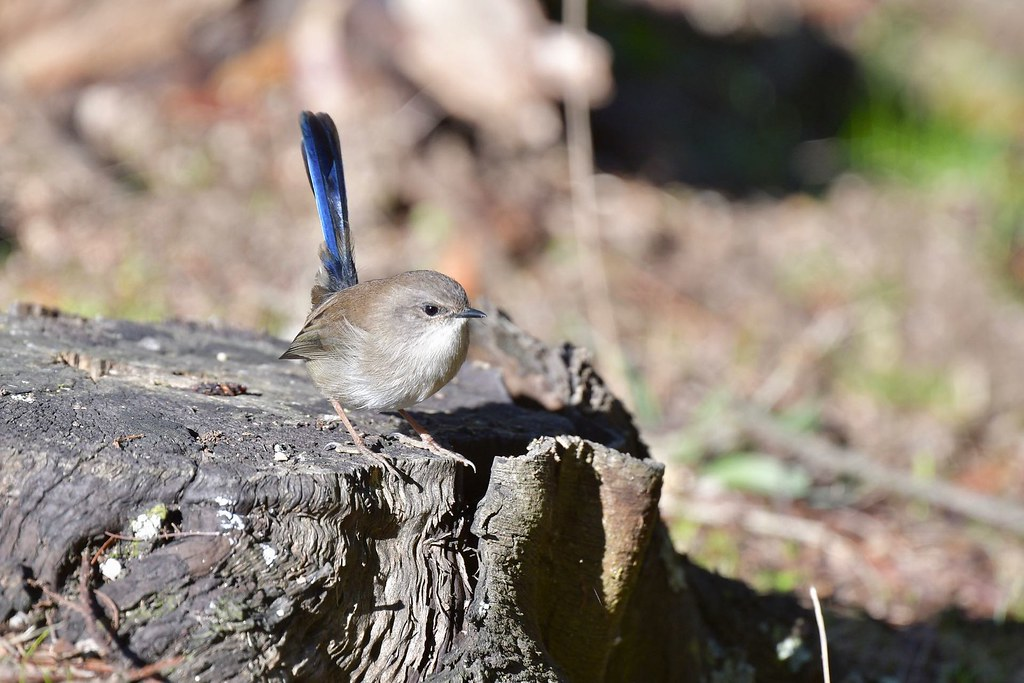 Superb Fairy-wren  ( looking at lunch )