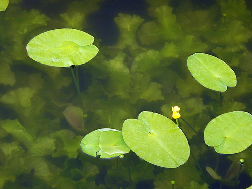A murky pond with lily pads in a Copenhagen park, Denmark