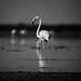 Last stander - Flamingo
