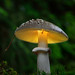 glowing amanita excelsa