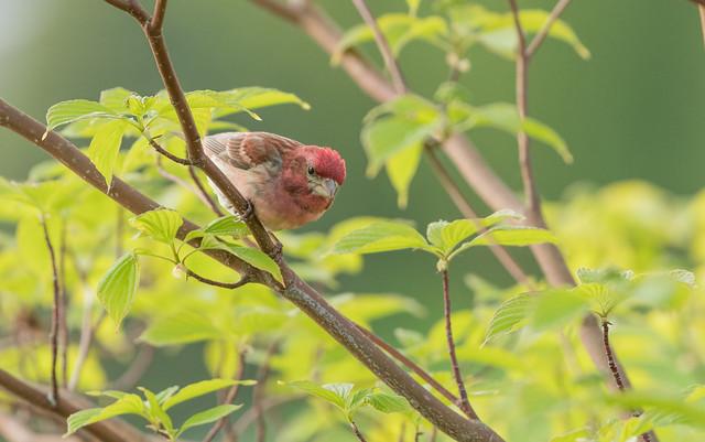 Roselin pourpré // Purple Finch