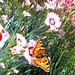 un papillon dans nos œillets du jardin