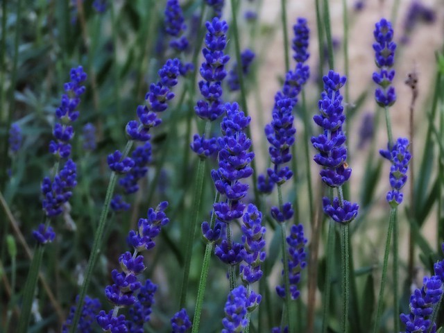 Evening Lavender
