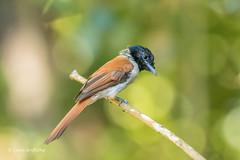 Seychelles Paradise Flycatcher - Female - Rare 501_8424.jpg