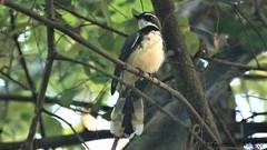 Abanico pío de Filipinas / Philippine Pied Fantail (Rhipidura nigritorquis))
