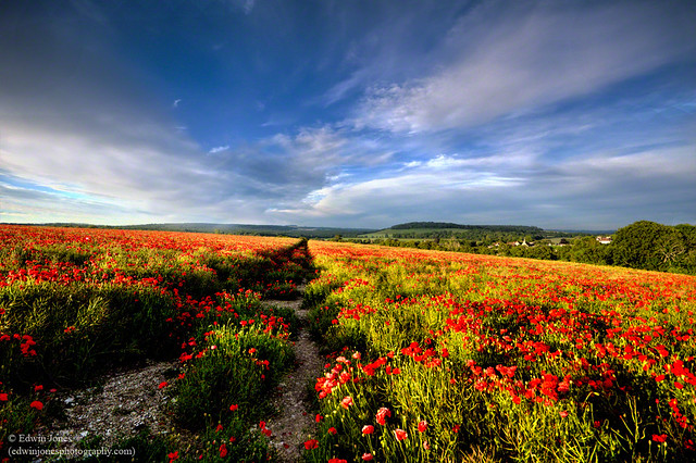 Poppies at Eartham South Downs