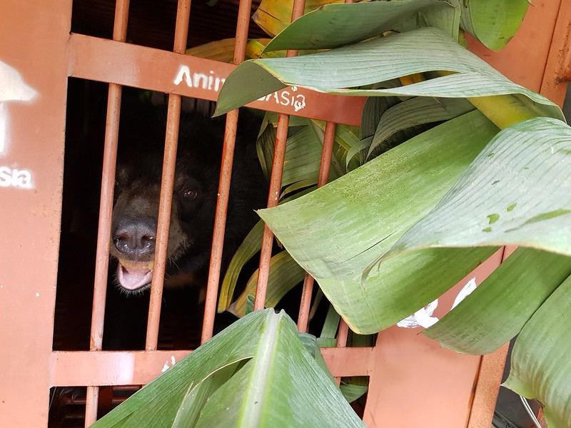 Solo with banana leaves during journey to sanctuary