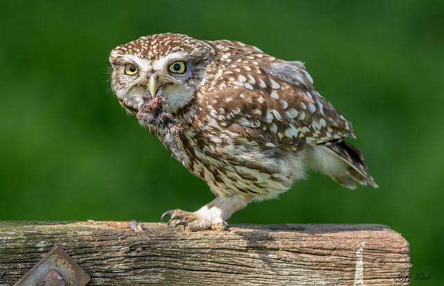 DSC3732  Little Owl...