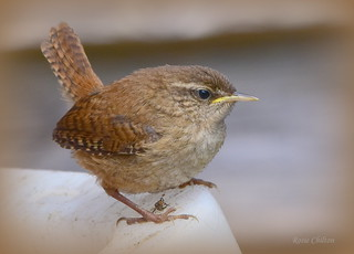 Juvenile wren waiting for lunch