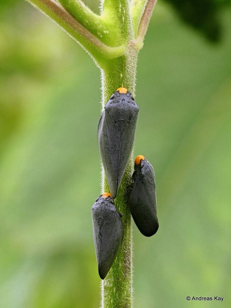 Froghoppers, Cephisus xanthocephala, Cercopidae