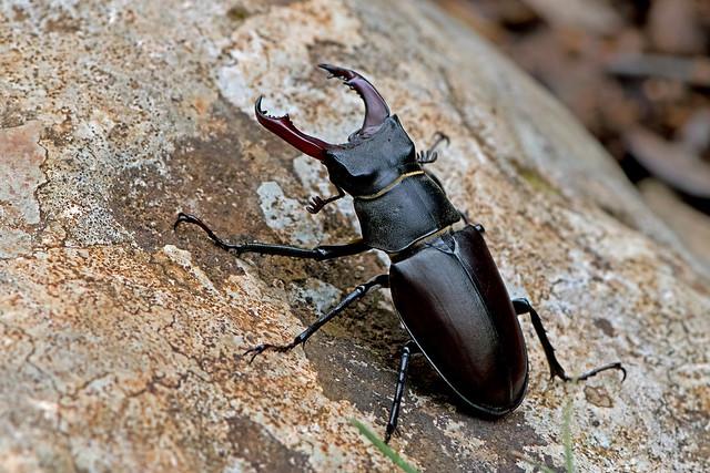 Lucanus cervus - the Stag Beetle (male)