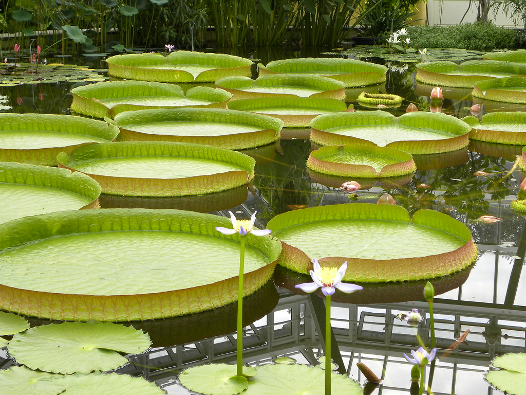 Victoria amazonica of tropical South America at the Hortus botanicus in Leiden