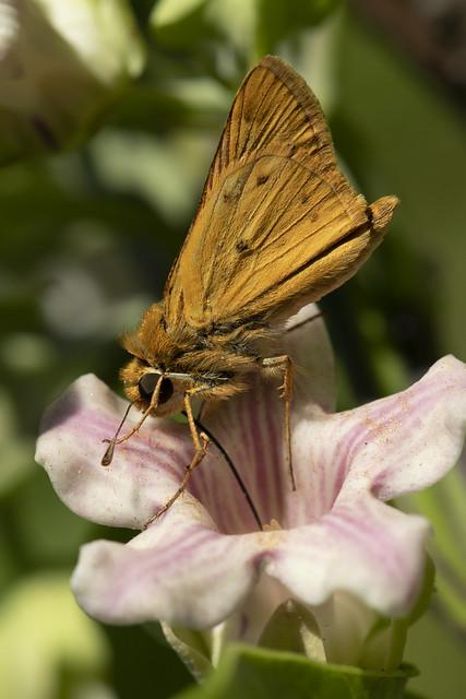 Saltarin Leonado (Hylephila phylaeus phylaeus)
