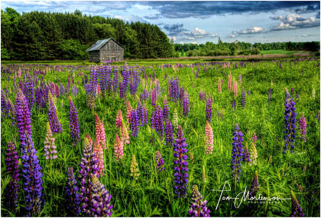 Meadow of Lupines