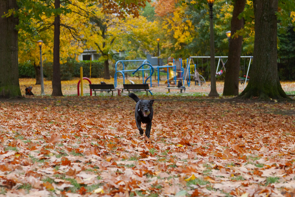 Our dog Ellie runs towards me with a tennis ball in her mouth, surrounded by fallen leaves and with a playground behind her, at the dog park at Irving Park in Portland, Oregon in November 2011