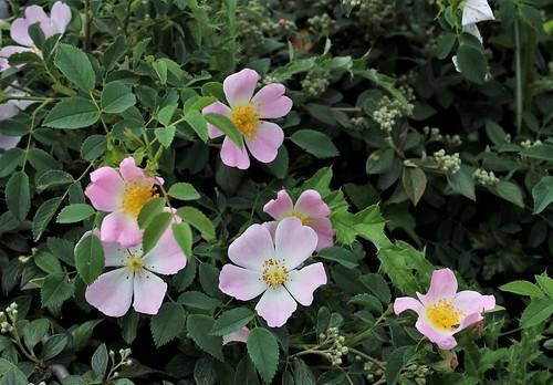 Rosa canina (groupe) - églantier, rosier des chiens  48098009508_6a9bc87d78