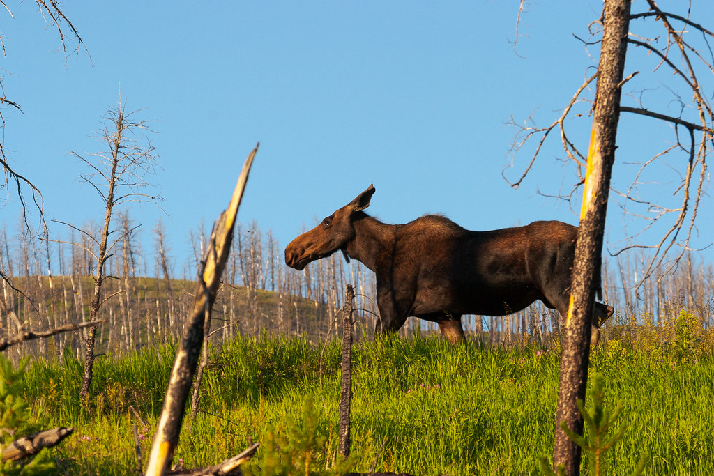 A moose cow walks through a dead forest at Yellowstone National Park in Wyoming in July 2004