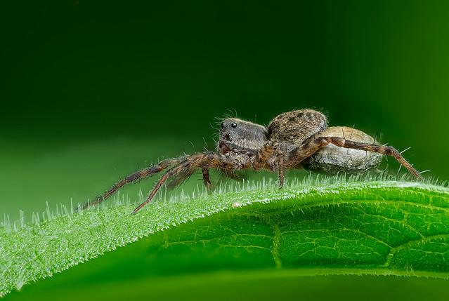 05_Spider_170B+Raynox-250-BC