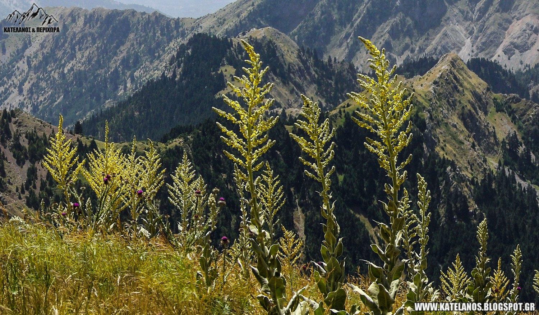 φλόμος βερμπάσκο φυτό