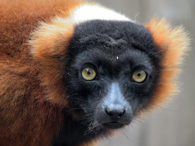 023525 2018 19 Augustus Avifauna Red Ruffed Lemur from Madagascar C