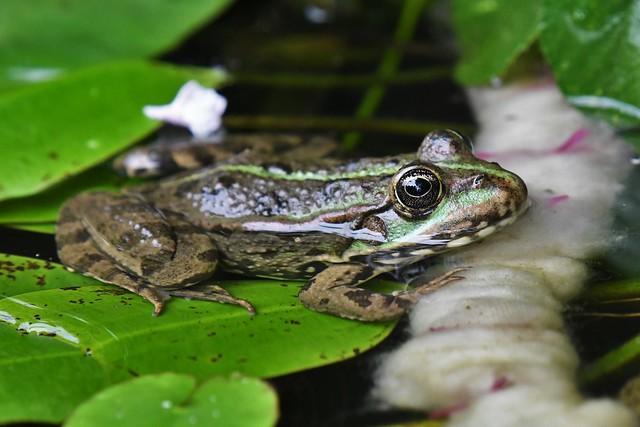 Grenouille - Rana - Frog