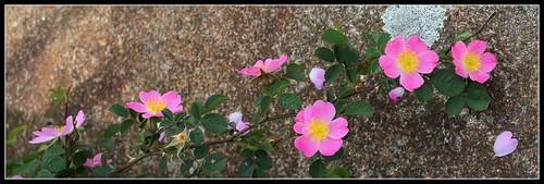 Rosa rubiginosa (groupe) - rosier rouillé 48098403988_241fa611c7