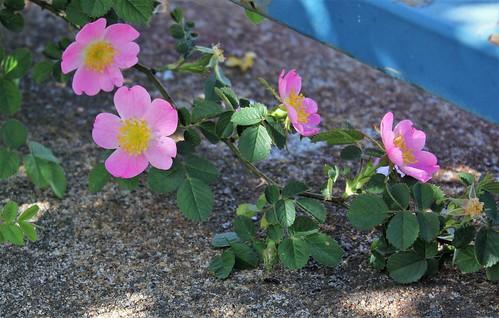 Rosa rubiginosa (groupe) - rosier rouillé 48098407253_2eb5022b3c