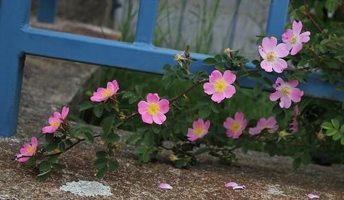 Rosa rubiginosa (groupe) - rosier rouillé 48098410643_263784bab8
