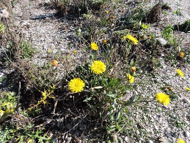6_Reichardia picroides