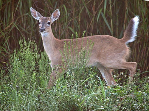 White-tail doe 02-20190620l