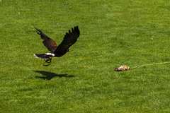 Harris's Hawk hunting