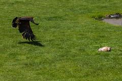 Harris's Hawk hunting
