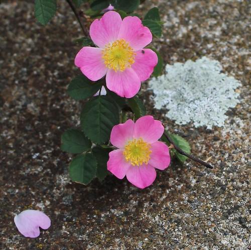Rosa rubiginosa (groupe) - rosier rouillé 48098521172_e8e6dd6c89