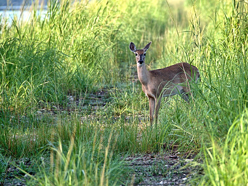 White-tail doe 01-20190620l