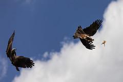 Kites hunting